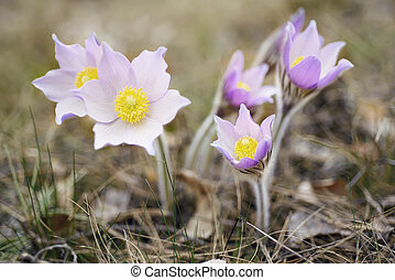 Pasque-flower in nature - Pasque-flower growing in nature,...