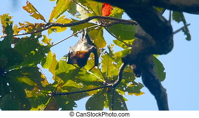 Flying foxes hanging on a tree branch and washing up, slow...