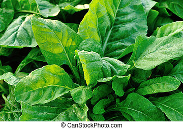 green sliver beet plants in growth at garden
