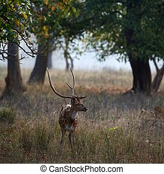 Spotted Deer(Male)