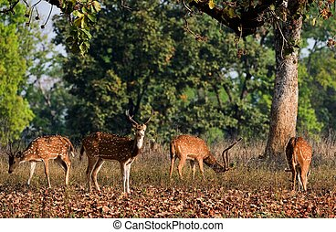 Spotted Deers - Axis Axis or Spotted Deer Axis axis INDIA...