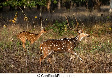Axis. - Axis or Spotted Deer (Axis axis) INDIA Kanha...
