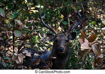 Indian Sambar Deer (Cervus unicolor) - The Indian Sambar is...