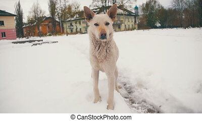 Homeless White Dog on a Snowy Street in Winter. Slow Motion...