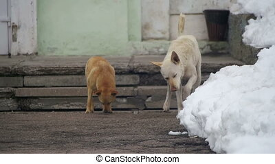 Stray White and Grey Dogs Mark Territory on a Snowy Street...