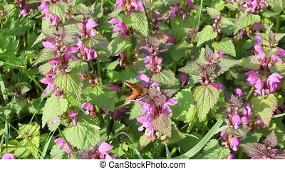 Medicinal herb Deadnettle and butterfly. - The butterfly...