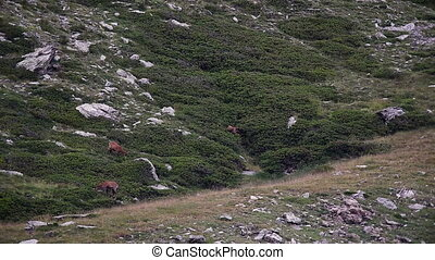 Chamois in the Mountain of Pyrenees(Spain)