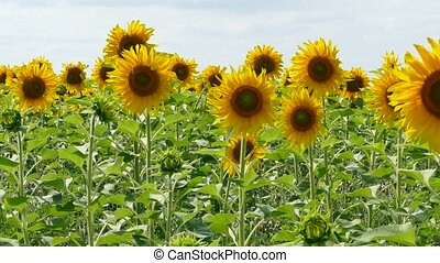 Blooming Sunflowers Dancing With Wind