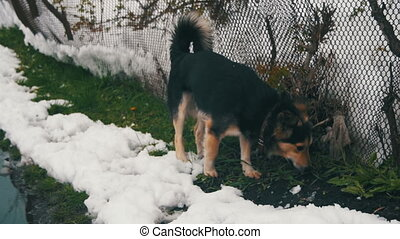 Gray Yard Dog with a Collar in the Street in Winter near the...
