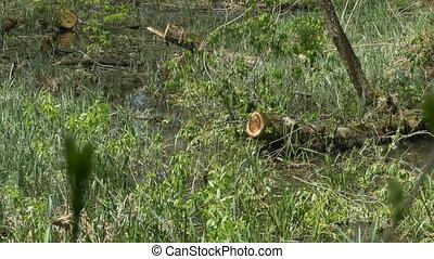 Swamp Water Plants - Swamp water vegetation waving in the...