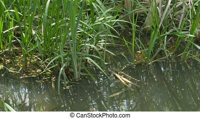 Water Plants near Shore - Pan shot to some water vegetation...