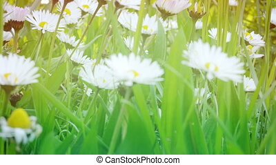White camomiles on a green field