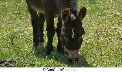 Donkey is Grazing - A donkey is grazing on the pasture.