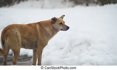 Stray Dog on a Snowy Street in Winter. Slow Motion - Stray...