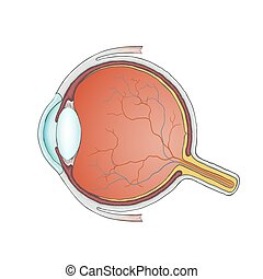 eyeball. Stock illustration. - Structure of the human...