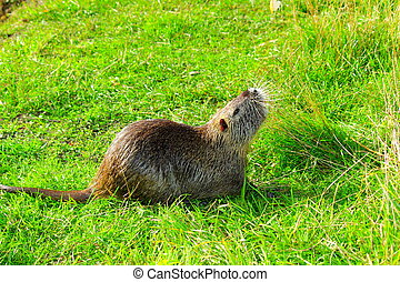 Nutria - wild nutria on the green grass is eating