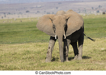 Young african elephant that stands amidst green grass on a...