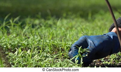 Farmer dives tomato seedlings for planting in the ground....