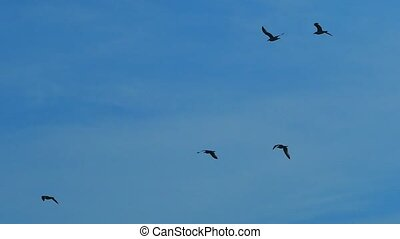 Slow motion, against the blue sky flies a flock of black birds