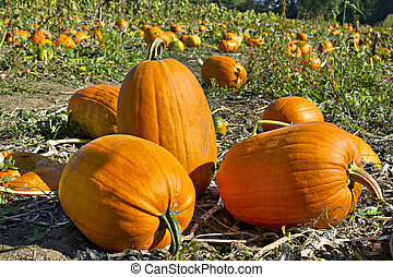 Pumpkin Patch 2 - Pumpkin Patch at Oregon Farmland in Fall...