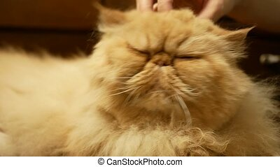 Persian cat stroked by woman