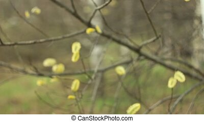 willow branches on the nature - Spring willow branches on...