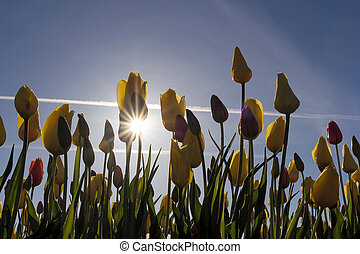 Tulips Blooming with Sun Star Burst - Fields of colorful...