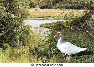 Muscovy Duck at Pond - Muscovy duck with its distinctive red...