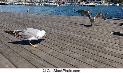 Seagulls feeding in Port Vell harbor in Barcelona - Seagulls...