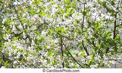 Cherry blossom tree - flowering cherry tree branches shaken...