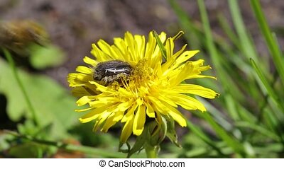 bee on a dandelion - The bee sat down on a yellow blooming...