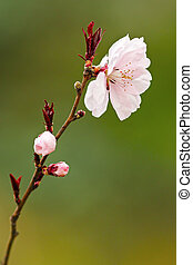 detail of japanese cherry tree flower over green out of...