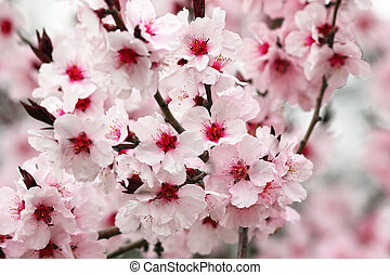 detail of japanese cherry tree flowers - detail of japanese...