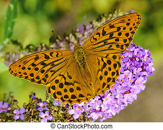 Silver Washed Fritillary Argynnis paphia on a butterfly-bush...