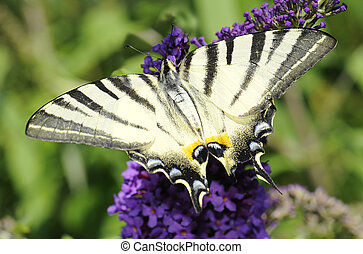 Scarce swallowtail (Iphiclides podalirius) butterfly is...