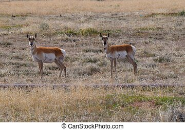 Photo of pronghorn antelope standing in the filed