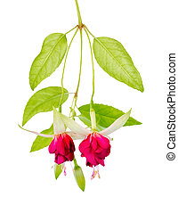 beautiful blooming hanging twig of red and white fuchsia...
