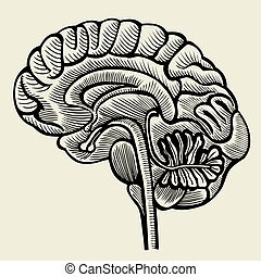 Human brain - vintage engraved illustration. Vector...