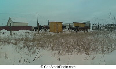 Herd of yakutian horses eating grass on the field. Full HD