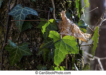 old and new leaf - an old and a new leaf of a tree. symbol...