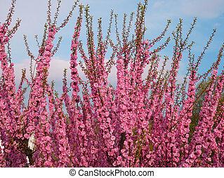 flor, Cor-de-rosa, ramos,  sakura