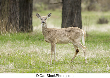 Sideview of white tail. - A white tail deer stands in the...