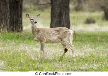 Side profile of deer. - A white tail deer stands in the...