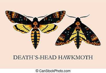 Deaths-head hawk moth - Vector illustration of high-detailed...
