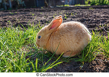 Young brown Rabit - Brown young cute rabit in the meadow...