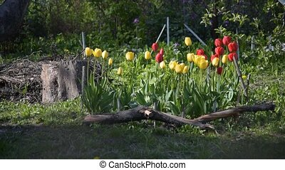 Flower bed with red, yellow tulip flowers and green grass