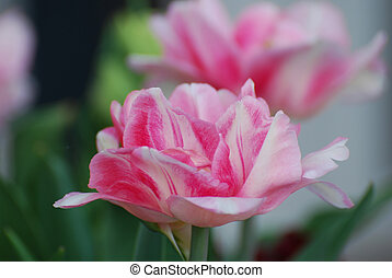 Pretty Dark Pink and White Flowering Parrot Tulip Blossom -...