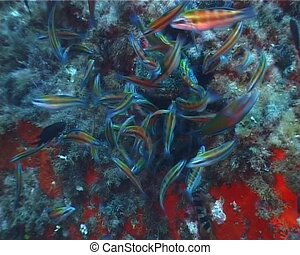 Fishes - A shoal of %u201CTurkish Wrasse%u201D (Thalassoma...