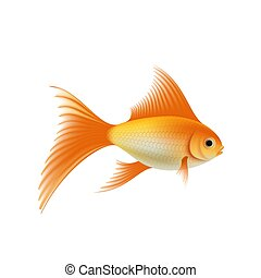 Gold aquarium fish - Gold fish. Isolated on white...