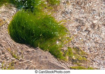 Atlantic waterplant - waterplant in the Atlantic ocean